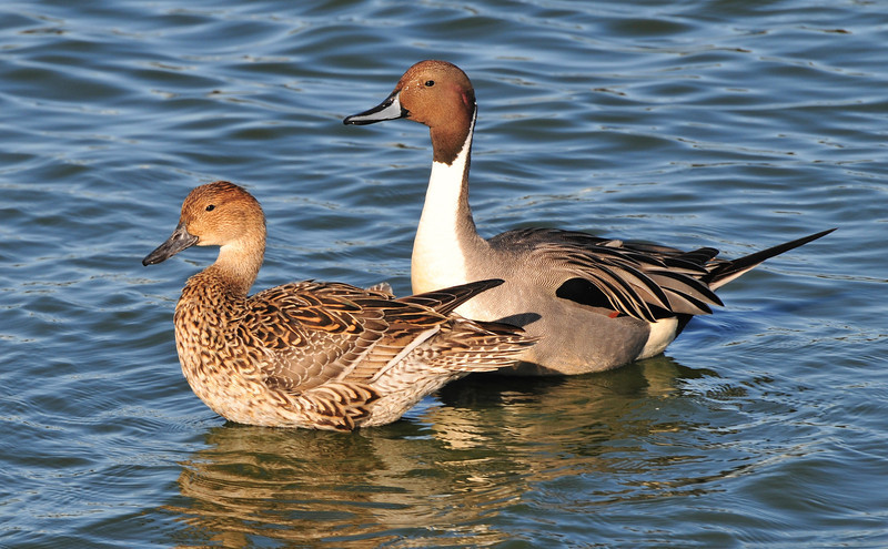 Pair of mating Pintail ducks