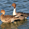 Pair of mating Pintail ducks