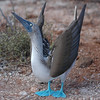 Elegant Blue Footed Booby