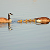 Canadian Geese and family