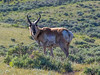 Yellowstone Pronghorn Buck