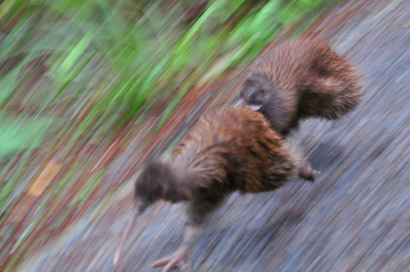 """Not the greatest picture BUT YOU KNOW HOW HARD it is to photo Kiwi's?<br /> One of them was chasing the other down a path I was walking on and my friend<br /> just kept yelling """"Take a picture!""""  So this the result of that."""