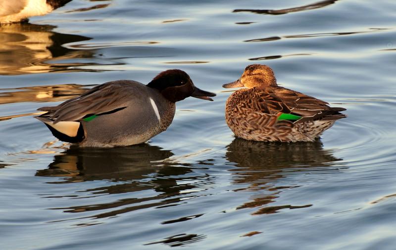 Pair of Green Winged Teal Ducks
