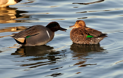 Pair of Green Winged Teal Ducks