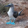 Beautiful Blue Footed Booby