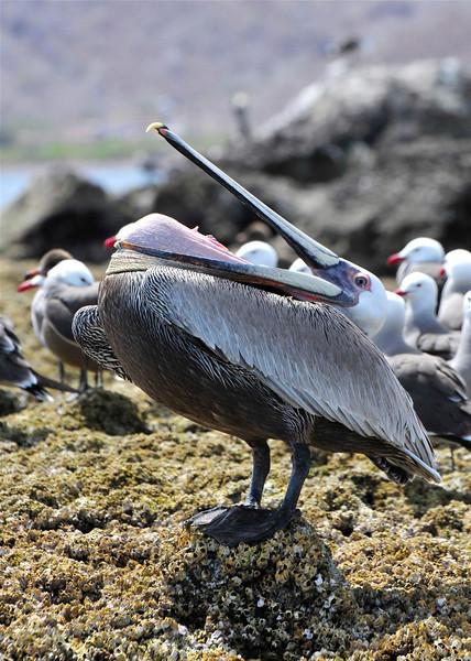 Bizarre behaviour of Pelican's