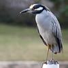 Night Heron at Marys Fish Camp,Fl