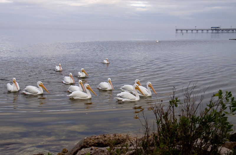 White Pelicans come over to chat - Rockport TX