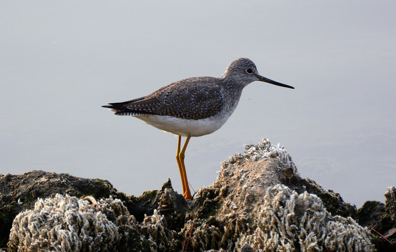 Not sure of the bird.  Appreciate your comments.  Looks like a yellowlegs