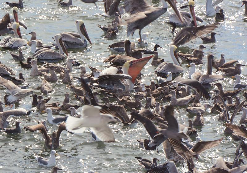 Birds and gulls feeding in a massive frenzy