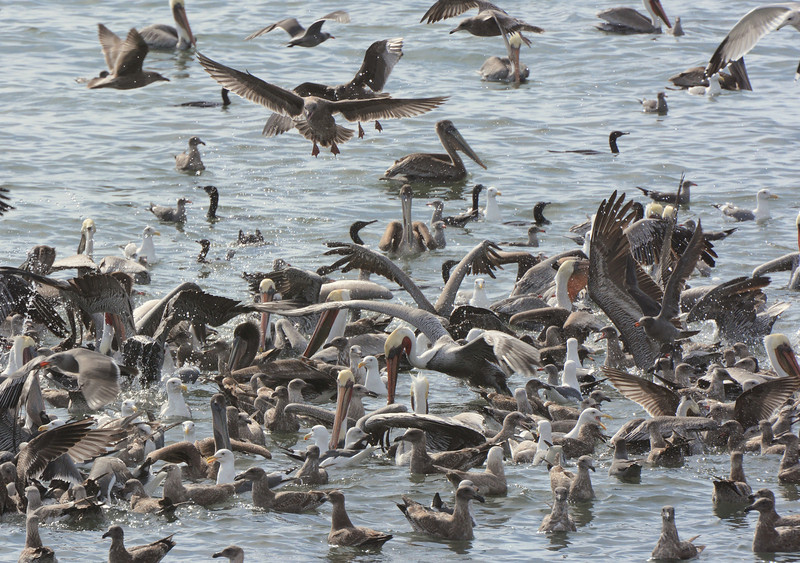 Pelican's, gulls feasting on lots of fish !