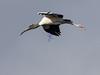 Flying Stork, Everglades