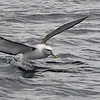 Molymawk Albatross taking off
