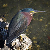 Green Heron in St Petersburg