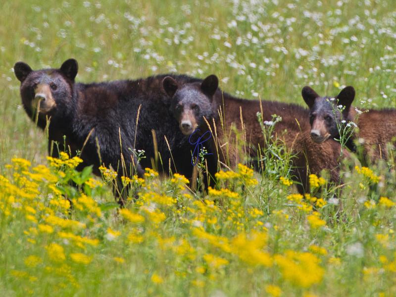 Alligator River Bears