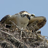 Osprey shielding young