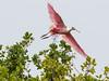 roseate spoonbill, Mrazek Pond, Everglades