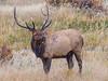 Bull Elk, Yellowstone