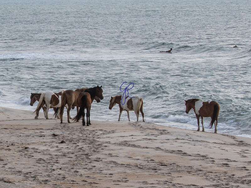 Assateague Ponies and Surfers