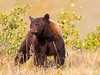 Waterton Grizzly
