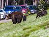 Teton Bear Jam
