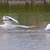 A White Pelican with an unusual pose.