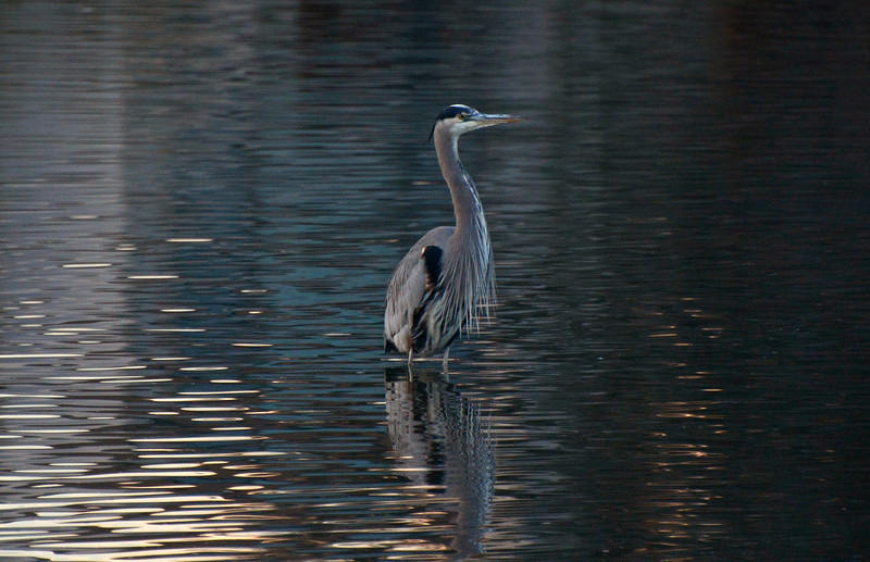 Great Blue Heron at dusk