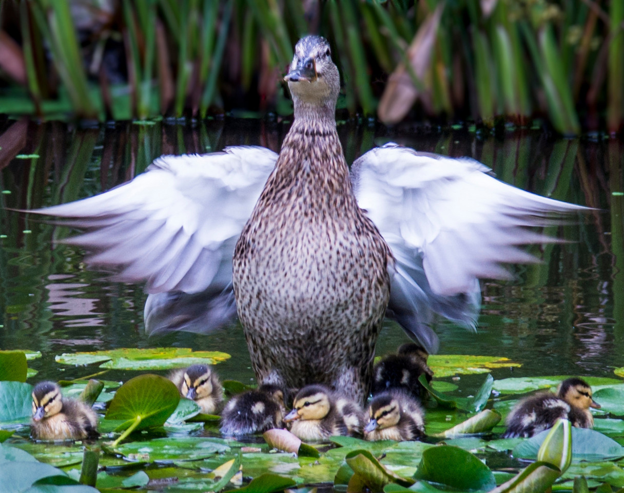 Mallard Duck and her ducklings