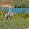 Adult Blue Heron and young Heron