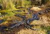 Alligator Meeting