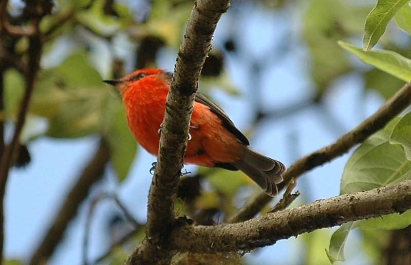 Vermillion Fly Catcher - Galapagos