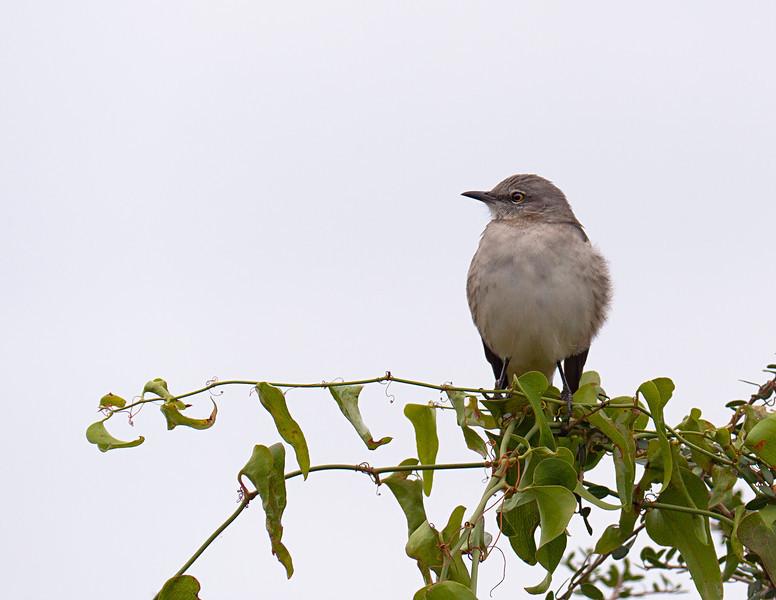 Mocking bird on catscratch....