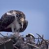 "osprey nest birds ""wild life"""