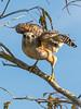 Everglades Red Shoulder Hawk Launching
