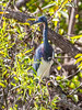 Tricolor Heron, Shark River, Everglades