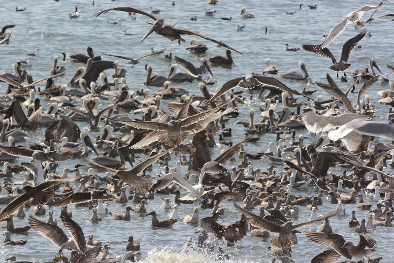 Massive feeding frenzy along the pacific coast.