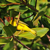 Yellow Mangrove Warbler
