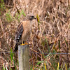 Red shouldered hawk  - at least I think it is...