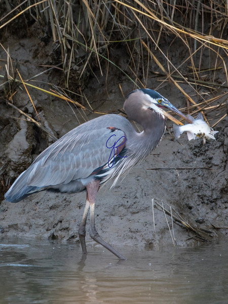 Great Blue Heron, with White Perch