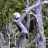 Watchful Bald Eagle