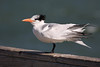 Another Tern  #B210