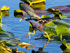 Purple Gallinule, Anhinga Trail