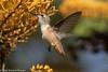 Allen's Hummingbird<br /> Mason Regional Park<br /> Orange County, CA<br /> 4/27/2016
