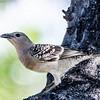 Great Bowerbird (Ptilonorhynchus nuchalis)