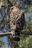 Red-shouldered Hawk<br /> Mason Regional Park<br /> Orange County, CA<br /> 4/27/2016