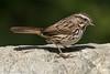 Song Sparrow<br /> Mason Regional Park<br /> Orange County, CA<br /> 4/27/2016