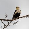 White-backed Swallow (Cheramoeca leucosterna)