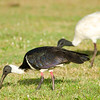 Straw-necked Ibis (Threskiornis spinicollis)