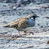 Spotted Quail-thrush (Cinclosoma punctatum)