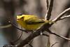 Wilson's Warbler<br /> San Joaquin Wildlife Sanctuary<br /> Orange County, CA<br /> 4/28/2016
